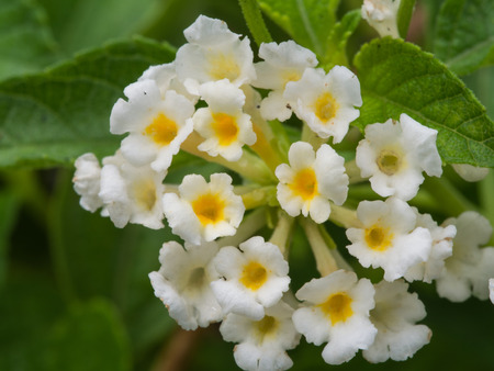alison: White Hedge Flowers Blooming in The Garden