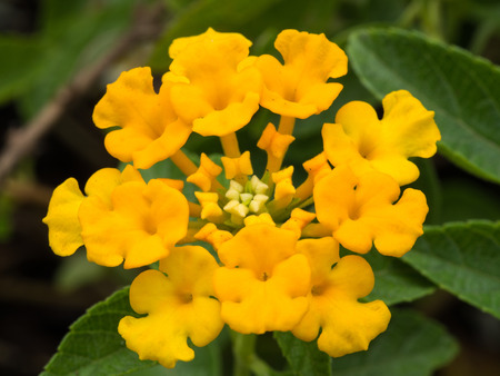 alison: Yellow Hedge Flowers Blooming in The Garden Stock Photo