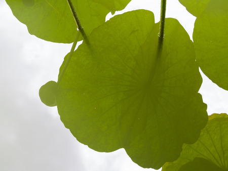 Shadow of Lotus Leaves Reflected in a Pool of Water Stock Photo
