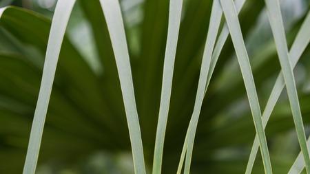 long way: The Line of Fan Palm a Long Way Stock Photo