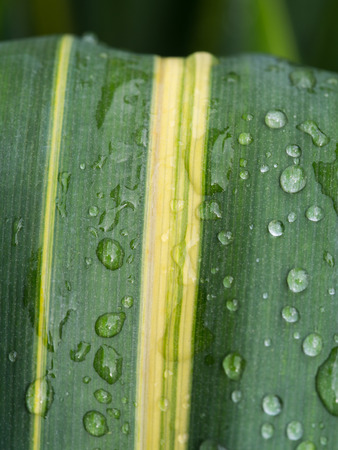 Green Leaf with Yellow Stripe after Rain