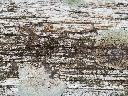 red ant: The White Hardwood Surface with Red Ant