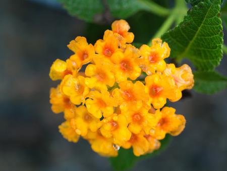 lantana: Little Yellow Hedge Flowers Blooming Stock Photo
