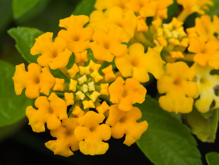 alison: Yellow Hedge Flower Blooming in The Garden Stock Photo