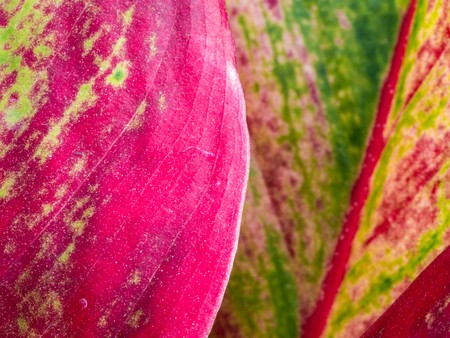 Red Aglaonema Leaves on Background