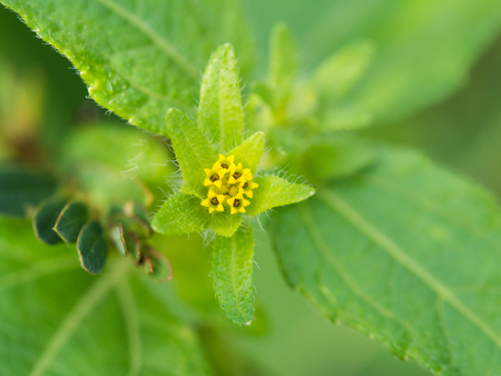 unwanted flora: Yellow Flower of Unwanted Flora