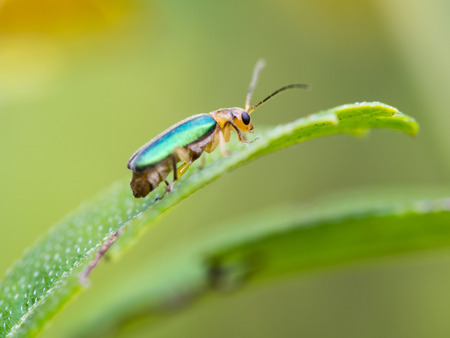 Metallic Wood-boring Beetle Perched on a Leaf