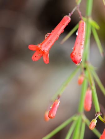 Red Firecracker Flowers Blooming in The Garden