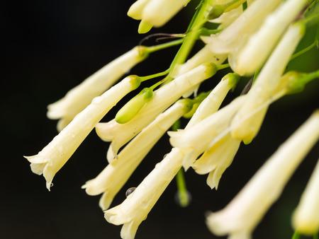 plantaginaceae: White Firecracker Flowers Blooming in The Garden