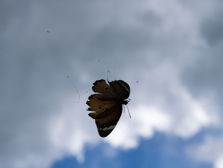 trapped: Butterfly Trapped in a Spider Web