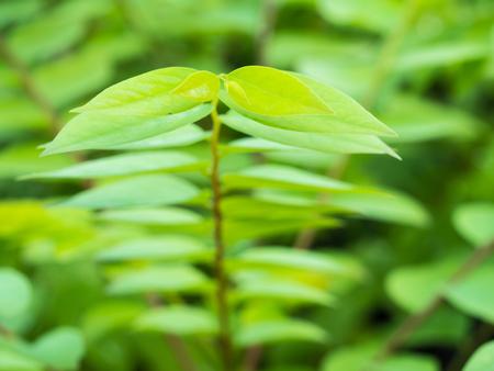 peppertree: Brazilian Pepper-tree Leaflet in The Morning Stock Photo