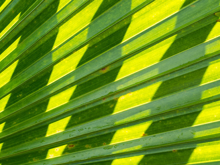 nervure: Chinese Fan Palm Leaf Spread and Shadow Stock Photo