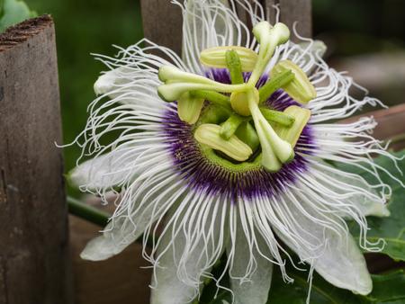passion fruit flower: The Passion Fruit Flower Blooming