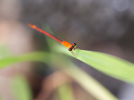 Orange Dragonfly on Green Leaf Stock Photo