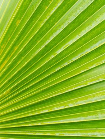 Striped Leaf of Fan Palm Tree