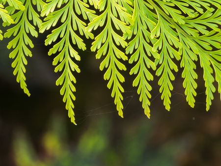 Australian-hairsfoot leaves in The Garden