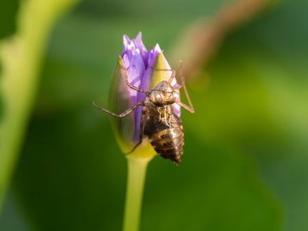 Insect Molting on The Lotus Flower
