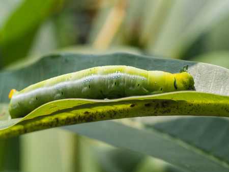 Caterpillar Walked on The leaf Stock Photo