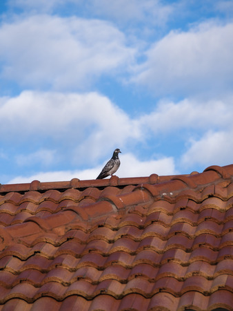 Pigeon Standing on The Roof in Sunshine Day