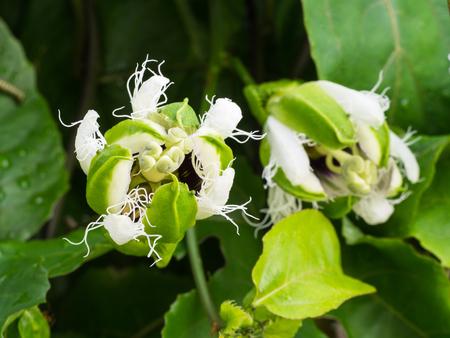 passion fruit flower: The Pollen Passion Flower Fruit