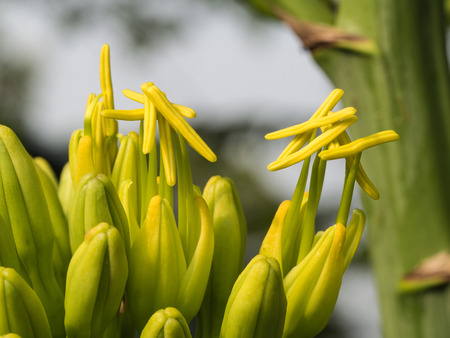 Yellow Caribbean Agave Flowers Blooming Before Dead