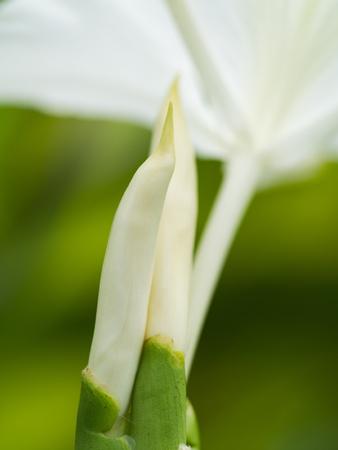 coronarium: Bud of White Ginger Blooming in The Garden