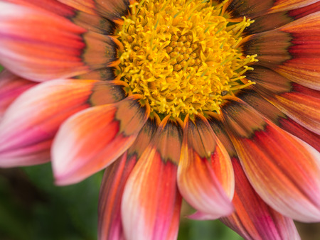 yellow stamens: Pink striped White Gazania Blooming in The Garden