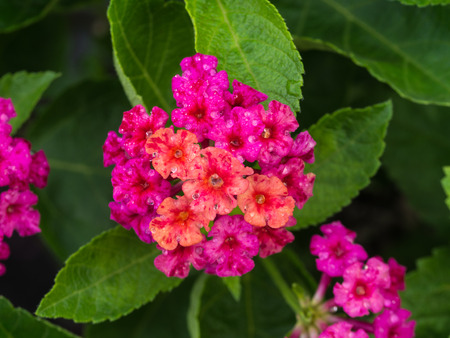 alison: Pink Hedge Flowers Blooming after Rain