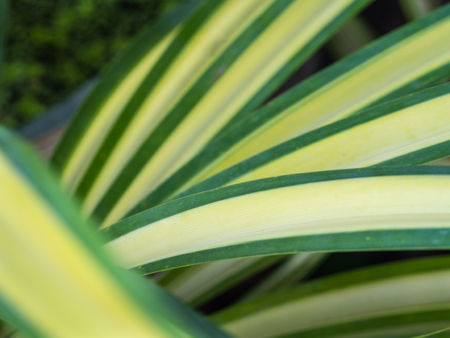Pandanus veitchii Leaves in a Row Stock Photo