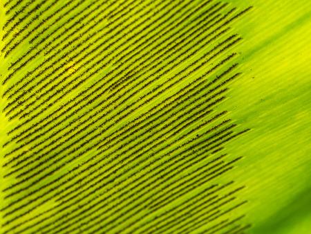 fern  large fern: Spores of Aspleniaceae Fern in The Back Leaf
