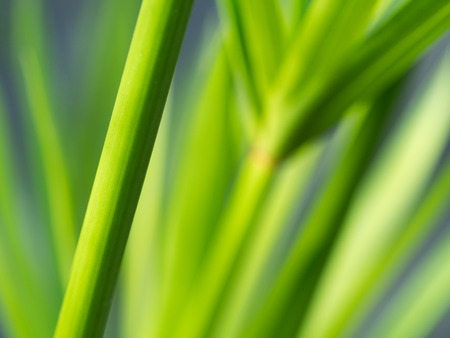 Blurred of Reed Branch Evergreen Tree Stock Photo