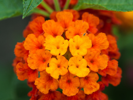 alison: Yellow Orange and Red Hedge Flowers Blooming Stock Photo