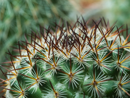 Thorns of Little Cactus in Pot Stock Photo