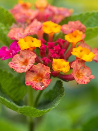 alison: Rain Drops on Pink Hedge Flower Stock Photo