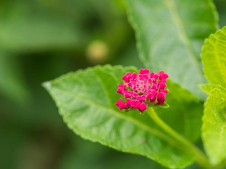 alison: Pink Hedge Flower Blooming in The Garden