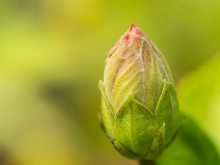 Red Hibiscus Flower Bud in The Garden Stock Photo