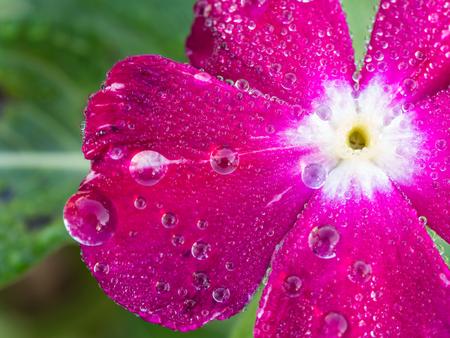 Rain Drops Perched on Pink Vinca Flower after Rain