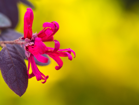 Chinese Witch Hazel Red Flower on Yellow Background