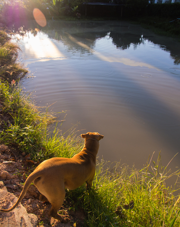 Brown Dog Stood Waiting for a fish Pond Stock Photo