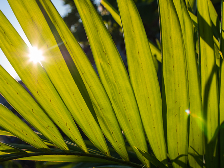 Sunlight Through The Leaf of palm Tree Stock Photo
