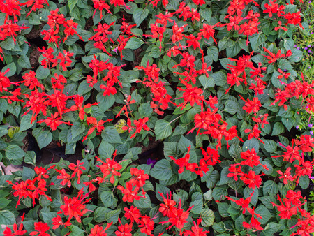 lamiales: Red Scarlet Sage Flowers Blooming on The Ground Stock Photo