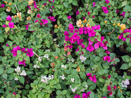 color bougainvillea: Colorful Bougainvillea Flowers Blooming on The Ground Stock Photo
