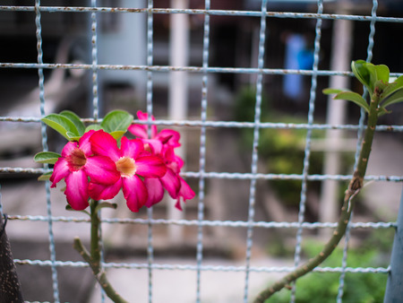 The Pink Azalea Flowers along The Fence Stock Photo