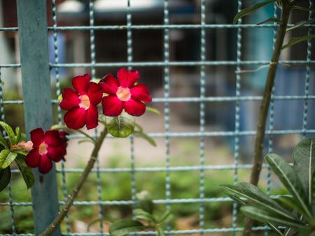mock azalea: The Red Azalea Flowers along The Fence Stock Photo
