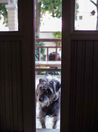 Poodle Dog Waiting at The Door