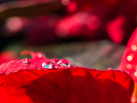 Raindrop on The Red Poinsettia Leaf Stock Photo