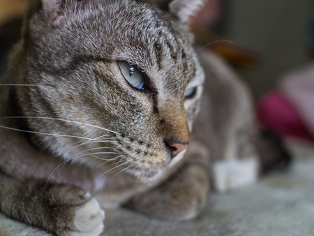 The Tabby Cat Crouching with Lethargy