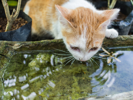 White Golden Stray Cat Drinking Water Stock Photo