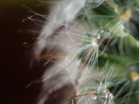 Raindrop on The Thorn of Cactus