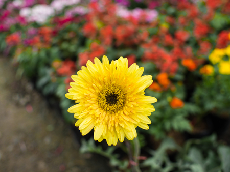 Yellow Flower Blooming Behind The Colorful Flowers Stock Photo